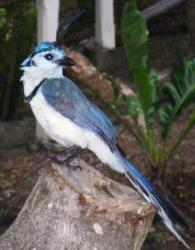 Magpie jay Nicaragua