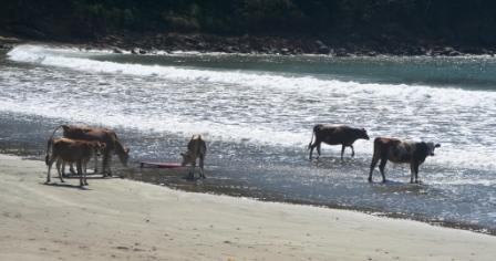 Surfing cows at Playa Remanso