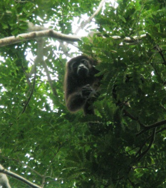 Howler Monkey in Nicaragua