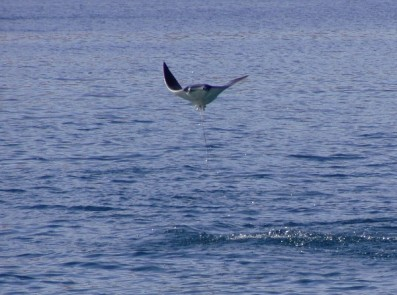 Manta Ray leaping Nicaragua 