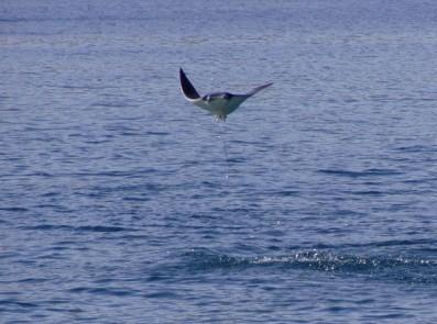 Manta Ray leaping Nicaragua