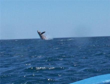 Humpback Whale breaching in Nicaragua